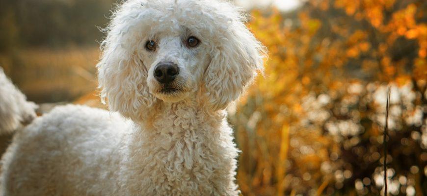 Пудель - одна из самых долгоживущих пород собак