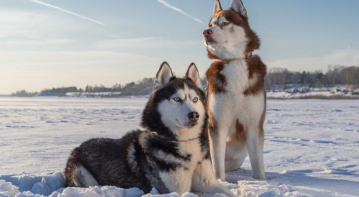Шумные и активные сибирские хаски зимой